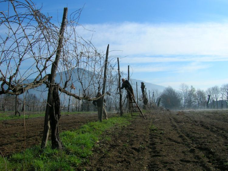 Pontelatone (CE), vigna di Casavecchia allevata a spalliera alta incrociata