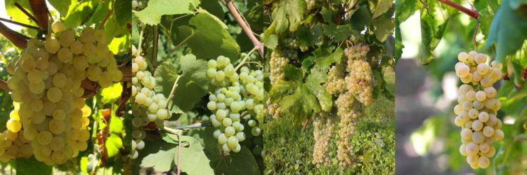 Collage vitigni bianchi