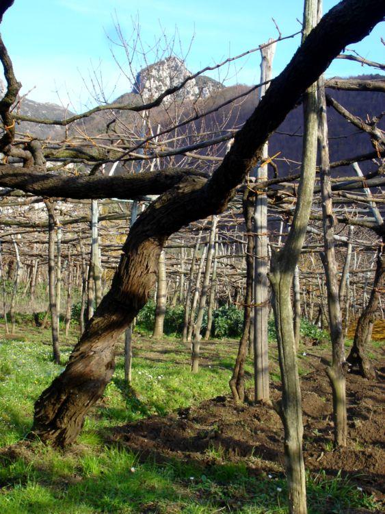 Pianta ultracentenaria prefillosserica di tintore della Tenuta San Francesco, Tramonti (SA)